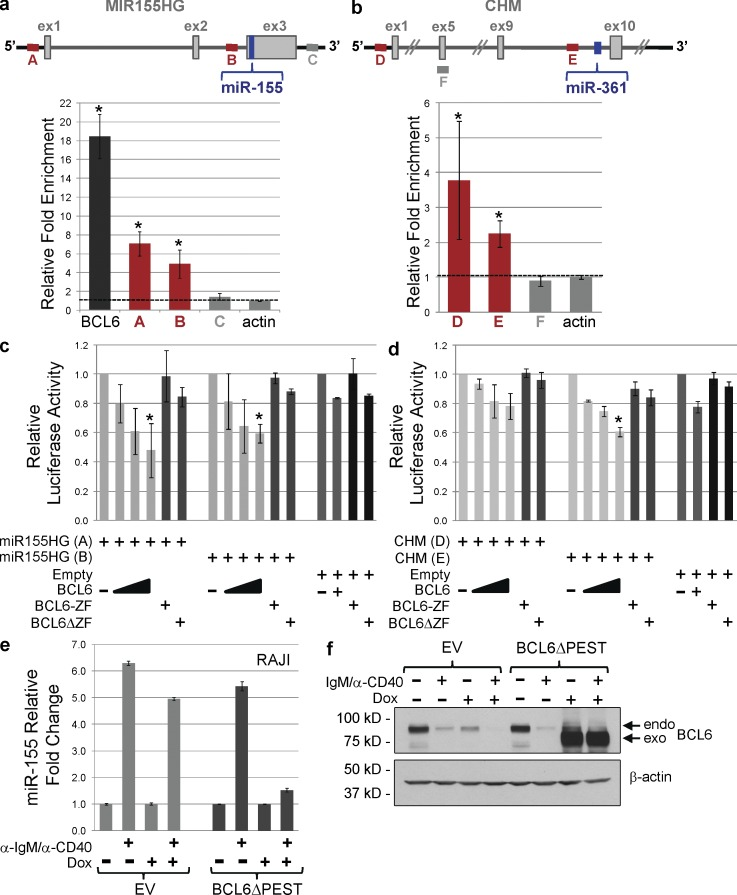 BCL6 binds to regulatory regions in <t>MIR155HG</t> and CHM loci and transcriptionally regulates miR-155 and miR-361 expression. (a) Schematic representation of the MIR155HG locus and relative fold enrichment as detected by ChIP for BCL6 followed by quantitative PCR (qChIP) analyses. The bound regions, A and B, are located in the promoter and in intron 2 of the MIR155HG locus, respectively; a region of not binding in the same locus (region C) was used as a negative control. The results are displayed as means and SD of two independent experiments, each performed in triplicates. Region A, P = 0.0006; region B, P = 0.005, Student's t test. (b) Schematic representation of the CHM locus and relative fold enrichment as detected by qChIP analysis. The bound regions, D and E, are located in the promoter and in intron 9 of the CHM locus, respectively; a region of not binding in the same locus (region F) was used as a negative control. BCL6 binding to its own promoter (BCL6) and in the actin locus were used as positive and negative controls, respectively. The results are displayed as means and SD of two independent experiments, each performed in triplicates. Region D, P = 0.02; region B, P = 0.003, Student's t test. (c and d) Promoter luciferase assays were performed to test the responsiveness to BCL6 repression of the bound regulatory regions in the MIR155HG (c) and in the CHM genes (d). The results are displayed as relative luciferase activity of the reporter constructs in presence of increasing amount of wild-type BCL6, or the maximum amount of its mutants (BCL6-ZF and BCL6ΔZF), compared with the reporter basal activity, normalized to renilla activity. The displayed means and SD are from three independent experiments, each performed in duplicates. Statistically significant changes were measured for the reporter constructs subjected to the highest dose of BCL6 compared with the reporter vector lacking the tested regions (empty) and to the same setting using the BCL6 mutants