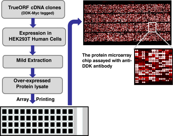 The production scheme for the protein microarray chip. All the overexpression lysates were produced using OriGene's TrueORF cDNA clone collection. On a single nitrocellulose slide, over 22,000 protein samples were spotted. These include 10,464 unique gene overexpression lysates printed in duplicate and large selections of positive and negative controls. Since all the expression clones contain a universal Myc and DDK fusion tag, the target gene expression level can be examined by using an Anti-DDK antibody (1:500 dilution of OriGene anti-DDK (TA50011) followed by DyLight 649 conjugated goat anti-mouse IgG secondary antibody for detection.