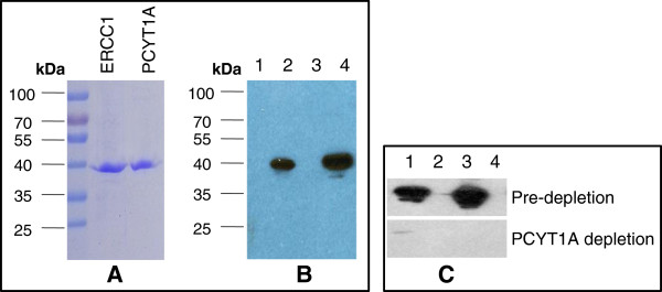 8F1 immunoblot analyses with purified proteins and antigen absorption test. A . Coomassie staining of purified ERCC1 and PCYT1A proteins. 1ug of affinity purified recombinant ERCC1 and PCYT1A proteins were fractionated on the SDS-PAGE gel and then commassie-stained. B . Immunoblot analysis with 8F1 anti-ERCC1 mAb.0.5ug of purified ERCC1 (Lane 2) and PCYT1A (Lane 4) were loaded on an SDS-PAGE gel and then immunobloted with 8F1 antibody. Empty vector transfected HEK293T cell lysates (Lanes 1 and 3) were used as a negative control. C . Antigen absorption test. Overexpression lysates for PCYT1A (Lane1), ERCC1 (Lane 3), and empty vector transfected control (Lanes 2 and 4) were fractionated on SDS-PAGE, and then immunoblotted with 8F1 (upper panel) or 8F1 pre-depleted with purified PCYT1A protein (lower panels).