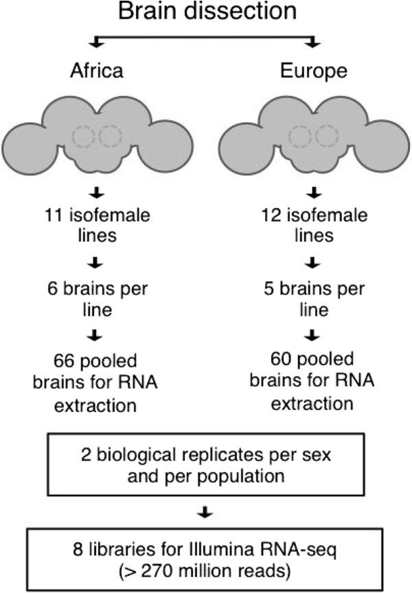 Overview of <t>RNA</t> sample preparation. Whole brains were dissected from isofemale lines derived from a European (the Netherlands) and an African (Zimbabwe) population. Brains were pooled within each population for RNA extraction. The dissection and pooling procedures were performed for two biological replicates of each population and sex, resulting in a total of eight samples that were used for <t>cDNA</t> library construction and high-throughput sequencing.