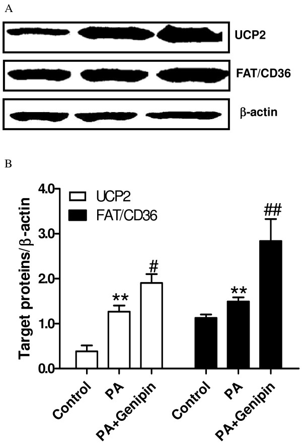 Genipin upregulates <t>UCP2</t> and FAT/CD36. ( A ) Western blot analysis of UCP2 and FAT/CD36 expressions. The protein was isolated from the HepG2 cells after 24 h of exposure to control medium, palmitic acid (PA, 250 μmol/L) and PA plus genipin (5 μmol/L). Equal protein loading was confirmed using β-actin antibody. ( B ) Target proteins/β-actin is shown in the bar graph. ** p