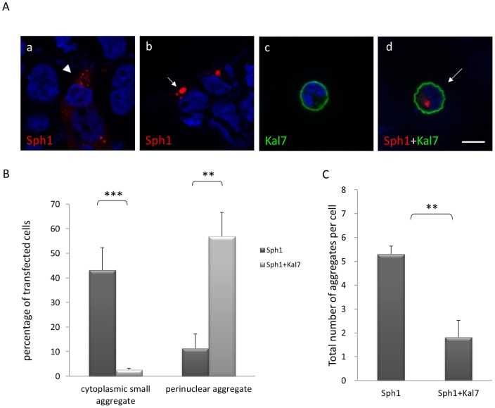 Kalirin-7 alters synphilin-1-induced inclusion formation. (A) When HEK293 cells were transfected with HcRed-synphilin-1 alone (a,b), FLAG-kalirin-7 (c) or both expression constructs (d) for 48 h, two types of inclusions were observed: small cytoplasmic aggregates (arrowhead; a) and perinuclear aggregates (arrow; b, d). Blue , DAPI. Scale bar , 10 µm. (B) Quantitative analysis of the experiment described in (A). HcRed-synphilin-1 was expressed without or with FLAG-kalirin-7 for 48 h. Cells were fixed and immunostained with anti-FLAG antibodies. Cells with cytoplasmic small aggregates, perinuclear aggregates or soluble synphilin-1 were counted. Results represent the average of three independent experiments. (C) Total numbers of aggregates per cell (cytoplasmic and perinuclear) were counted applying ApoTome confocal fluorescent microscopy. Over 100 cells were counted for each condition. The asterisks indicate statistical significance (**P≤0.005; ***P≤0.001). Error bars , S.E.