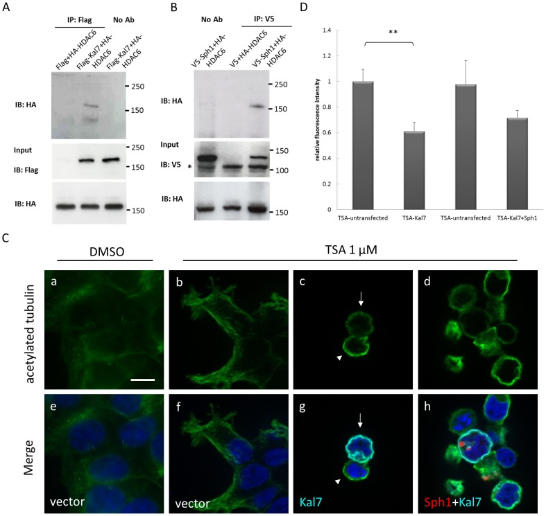 Decreased tubulin acetylation in kalirin-7 expressing cells under TSA treatment. (A, B) An interaction of FLAG-kalirin-7, V5-synphilin-1 and HA-HDAC6 was examined by co-immunoprecipitation experiments. 24 h after transfection, HEK293 cells were lysed and 500 µg of protein lysates were subjected to immunoprecipitation with anti-FLAG or anti-V5 conjugated agarose beads, respectively. The precipitates were probed with HA antibodies to detect HDAC6 and revealed an interaction of HDAC6 with both kalirin-7 and synphilin-1. 30 µg of protein lysates were visualized as input control. The asterisk indicates a non-specific band observed in all raw lysates detected with anti-V5. (C) Cells transiently overexpressing FLAG-kalirin-7 (c, g), FLAG-kalirin-7 plus HcRed-synphilin-1 (d, h), or empty vectors (a, b, e, f) were immunostained for acetylated tubulin (a-d, green) and kalirin-7 (g, h light blue) after DMSO or 1 µM TSA treatment. While TSA treatment resulted in higher acetylation levels in comparison to controls (arrowheads), the overexpression of kalirin-7 led to a significant decrease of the α-tubulin acetylation levels (arrows). Blue, DAPI. Scale bar, 10 µm. (D) Acetylated tubulin levels were quantified by the fluorescence signal of individual cells, as described in Materials and Methods. Kalirin-7 transfected cells treated with TSA were compared to untransfected cells in the same cell population. Comparably, kalirin-7/synphilin-1 doubly transfected cells treated with TSA were quantified relative to untransfected cells in the same population. The asterisks indicate statistical significance ( ** P ≤0.005). Error bars , S.E., n = 100.
