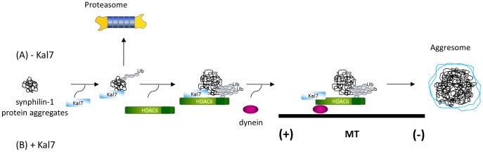 Proposed pathway of kalirin-7-mediated synphilin-1 aggresome formation. (A) Under normal conditions, misfolded synphilin-1 is mainly accumulated in cytoplasmic small aggregates. (B) When kalirin-7 is overexpressed, it facilitates the recruitment of HDAC6 and the dynein motor complex and acts on microtubule dynamics by stimulating the deacetylase activity of HDAC6, thereby increasing the transportation of synphilin-1 into aggresomes.