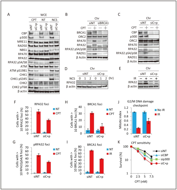 Impairment of RPA foci formation and the DNA damage checkpoint in CBP and p300 depleted cells. ( A ) Effects of CBP and p300 depletion on DSB-induced RPA and CHK1 activation. H1299 cells were pre-transfected with non-targeting (siNT) or CBP and p300 (siC+p) siRNA for 48 hr, and treated with DMSO (NT), 1 μM camptothecin (CPT), or 500 ng/ml neocarzinostatin (NCS) for 2 hr. Whole cell extracts were subjected to immunoblot analysis. ( B, C ) Decreased DSB-induced chromatin binding of RPA proteins. Chromatin enriched fractions from H1299 cells pre-transfected for 48 hr with non-targeting (siNT), BRCA1 (B), or CBP and p300 (siC+p) (C) siRNAs and treated with DMSO (NT) or 1 μM camptothecin (CPT) for 2 hr were subjected to immunoblot analysis. ( D, E ) Decreased DNA damage-induced chromatin binding of RPA proteins in H1299 cells. Chromatin enriched fractions from cells pre-transfected for 48 hr with non-targeting (siNT) or CBP+p300 (siC+p) siRNA were treated or not treated (NT) with (D) 500 ng/ml neocarzinostatin (NCS) for 1 or 2 hr, or (E) incubated for 3 hr after 50 Gy ionizing irradiation (IR) and subjected to immunoblot analysis. ( F, G ) Decreased DSB-induced RPA32 foci formation. H1299 cells were transfected with non-targeting (siNT) or CBP and p300 (siC+p) siRNA for 48 hr, treated with DMSO (NT) or 1 μM camptothecin (CPT) for 3 hr, and subjected to immunofluorescence analysis. The percentages of cells with RPA32 foci (F) or phosphorylated RPA32 (pS4/S8) foci (G) are shown. Data represent the mean ± SD. ( H, I ) CPT- and IR-induced formation of BRCA1 foci. H1299 cells were transfected with non-targeting (siNT) or CBP and p300 (siC+p) siRNA for 48 hr, treated with 1 μM camptothecin (CPT) for 3 hr (H) or 10 Gy ionizing irradiation (IR) for 4 hr (I), and subjected to immunofluorescence analysis. The percentages of cells showing  > 10 BRCA1 foci are shown. Data represent the mean ± SD. ( J ) Suppression of the G2/M DNA damage checkpoint. H1299 cells were pre-transfected f