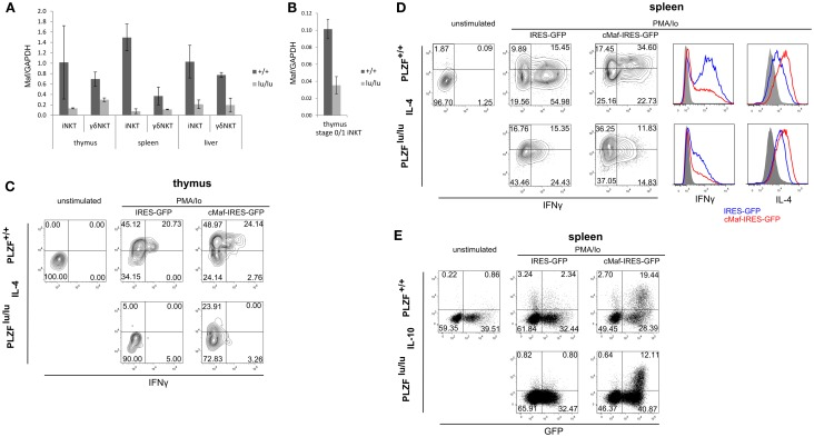 PLZF regulates the expression of <t>c-Maf</t> . Expression of Maf was analyzed by TaqMan qPCR in sorted total thymic, splenic, and liver iNKT (TCRβ + CD1d-Tet + ) and γδNKT (TCRγδ + Vδ6.3 + ) cells (A) or in stage 0/stage 1 iNKT cells (CD44 − NK1.1 − TCRβ + CD1d-Tet + ) (B) from mixed bm chimeras. Mean relative c-Maf expression normalized against GAPDH expression is shown. Error bars represent SD (individual mice). Statistical significance is indicated where reached. iNKT cell were sorted from thymi (C) and spleens (D,E) of WT or PLZF lu/lu mice, cultured for 2 days in the presence of IL-7 and IL-15, infected with IRES-GFP or c-Maf-IRES-GFP retroviruses and stimulated with PMA/Ionomycin 2 days after infection. Expression of IFNγ and IL-4 in GFP + cells (C,D) as well as IL-10 and GFP in all NKT cells (E) is shown. Representative FACS plots from one of two (C) and one of three (D,E) experiments are shown. Histogram overlays comparing cytokine production by wt and lu/lu cells in response to c-Maf expression are shown for (D) .