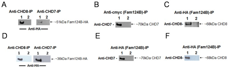 Co-immunoprecipitation of FAM124B with a part of CHD7 and CHD8. HeLa cells were co-transfected with either the CHD7-CR1-3-pCMV-HA (amino acids 1593-2178, NP_060250.2) plasmid and FAM124B-1,3-pCMV-cmyc or FAM124B-1,3-pCMV-HA (transcript variant 1, NP_001116251.1) or with CHD8-pCMV-cmyc (amino acids 1789-2302, NP_065971.2) and FAM124B-1,3-pCMV-HA (transcript variant 1, NP_001116251.1). ( A ) Using the anti-CHD8 (abcam, ab84527) or the anti-CHD7 (abcam, ab31824) antibody for precipitation, we detected with the anti-HA antibody (Roche) an approximately 51 kDa band corresponding to the estimated size of FAM124B transcript variant 1. Lane 1: co-transfected Co-IP, lane 2: untransfected HeLa cells as negative control. ( B ) Reciprocal immunoprecipitation with anti-cmyc antibody (precipitating FAM124B transcript variant 1), and detection with the anti-CHD7 antibody lead to a specific band ∼70 kDa, the estimated size for the CHD7 part fused to the HA-tag. Lane 1: co-transfected Co-IP, lane 2: untransfected HeLa cells as negative control. ( C ) Reciprocal experiment with anti-HA antibody (precipitating FAM124B transcript variant 1) and detection with the anti-CHD8 antibody detected a specific band ∼68 kDa, the estimated size for the CHD8 part fused to the cmyc-tag. Lane 1: co-transfected Co-IP, lane 2: untransfected HeLa cells as negative control. ( D, E, F ) The same experimental procedure was performed for FAM124B transcript variant 2, demonstrating a specific interaction of FAM124B transcript variant 2 with the CHD7 and CHD8 part as well. Lane 1: co-transfected Co-IP, lane 2: untransfected HeLa cells as negative control.