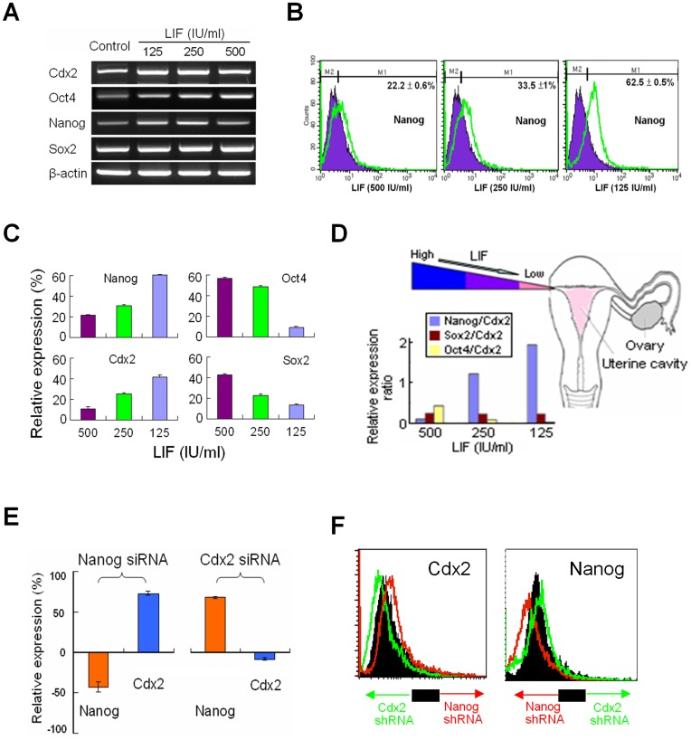 Regulation of Pluripotency Transcription Factors by LIF. ( A ) Expressions of Nanog, Cdx2, Sox2 and Oct4 mRNAs after treating different concentrations of LIF ( B ) By flow cytomery, withdrawal of LIF overexpressed Nanog and ( C ) enhanced expression of Nanog and Cdx2 but suppressed Oct4 and Sox2. ( D ) Physiological gradient of LIF levels from ampulla toward isthmus with an increased Nanog/Cdx2 ratio, but a decreased Oct4/Cdx2 ratio in a dose-dependent manner. ( E ) A reciprocal relationship between Nanog and Cdx2 evidenced by pretreatment with siRNAs (10 −8 M, Sigma) and ( F ) with shRNAs (10 −8 M, Sigma), respectively.