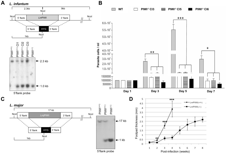 Genomic inactivation of the  PIWI  gene in  L. infantum  and  L. major  strains leads to a decrease in amastigote growth and disease pathology. (A, upper panel) Strategy to inactivate the  L. infantum PIWI  gene ( Lin PIWI (−/−) ) by genetic replacement. Both alleles of the  LinPIWI  single copy gene were replaced by the hygromycin phosphotransferase gene ( HYG ) by a loss of heterozygocity. (A, bottom panel) Southern blot hybridization of  L. infantum  genomic DNA digested with NcoI using the  PIWI  5′ flank sequence as a probe. In  Lin PIWI (+/+) , only a 2.3 kb band which corresponds to the wild type alleles was detected. In  Lin PIWI (+/−)  clones (C1, C2 and C3), in addition to the wild type allele, one more band of 1.0 kb (for the  HYG  gene integration) was detected. In  Lin PIWI (−/−) , only one band of 1.0 kb (for the  HYG  gene replacement) was detected but not the 2.3 kb band. (B) Growth curve of  L. infantum  axenic amastigotes for  Lin PIWI (+/+)  and  Lin PIWI (−/−)  independent clones 3, 5 and 6. The growth pattern of  L. infantum  WT and  Lin PIWI (−/−)  clones on days 1, 3, 5 and 7 was analyzed by one-way ANOVA followed by a Tukey's post-test using GraphPad Prism (version 3.03) software. Significant differences between the various groups are indicated (*,  P