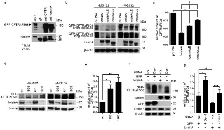 Involvement of torsinA in degradation of GFP-CFTRΔF508 (a) 293T cells transfected with an expression cassette for GFP-CFTRΔF508 and 48 h later cell lysates were immunoprecipitated with IgG or antibodies to CFTR or torsinA, followed by SDS-PAGE and immunoblotting for GFP and torsinA. (b c): (b) 293T cells were co-transfected with expression cassettes for GFP-CFTRΔF508 or torsinA or torsinAΔE or torsinAΔC or with the control cassette, pcDNA 3.1. Twenty-four h later samples were treated or not with MG132 for 16 h. Seventy-two h post-transfection, cell lysates were processed by SDS-PAGE and gels immunoblotted with antibodies to GFP, torsinA and β-actin. Representative immunoblots are shown with short (1 min) and long (3 min) exposures for GFP, and with 3 min exposure for torsinA and β-actin. (c) GFP-CFTRΔF508 band densities were normalized to those of torsinA and β-actin and represented as the mean of 3 experiments ± S.D. For statistical comparisons, * denotes the comparisons of control to torsinA or torsinAΔE or torsinAΔC transfections (p,