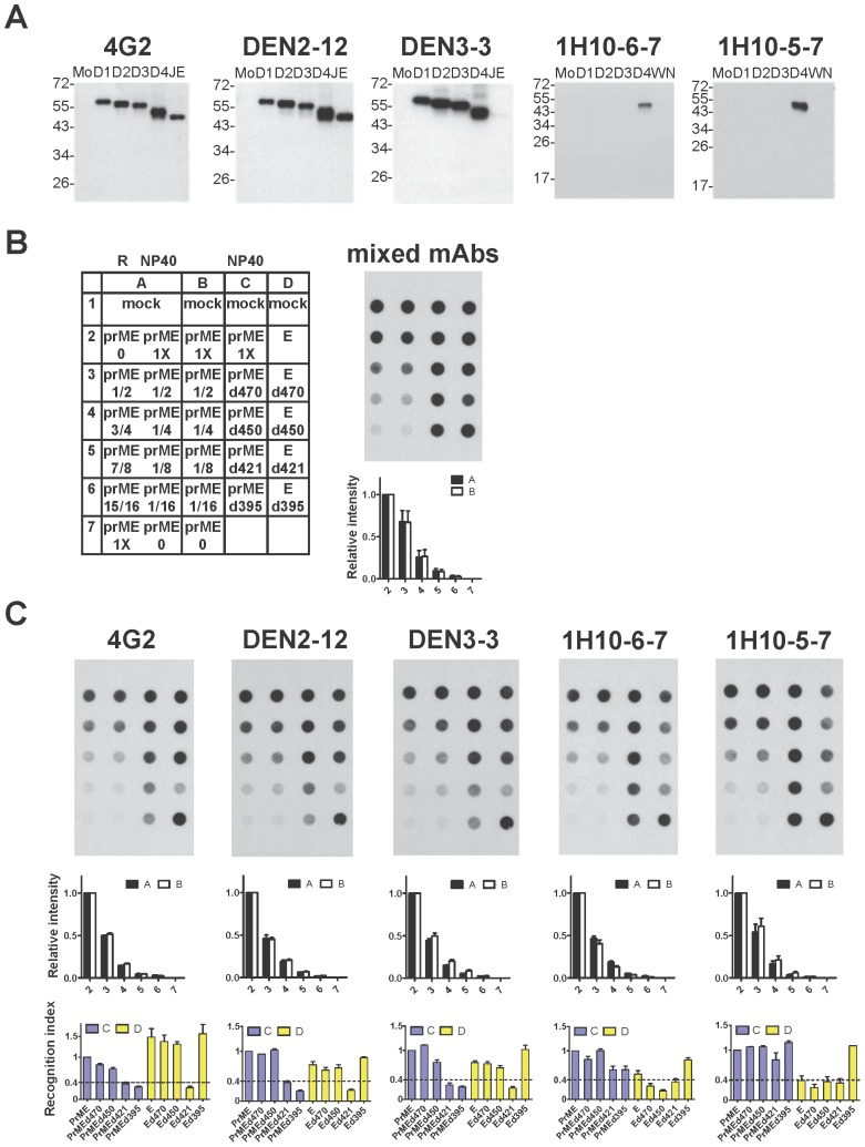 Effect of C-terminal E domains and prM protein on the recognition of E protein by different mouse anti-E mAbs. (A) Binding specificity of five mouse anti-E mAbs including GR (4G2 and DEN2-12), CR (DEN3-3), and DENV4 TS (1H10-6-7 and 1H10-5-7) mAbs. Western blot analysis was performed by using cell lysates derived from C6/36 cells infected with each of the four DENV serotypes, WNV or JEV. The size of molecular weight markers is shown in kDa. (B,C) Dot blot binding assay using these five mAbs to recognize WT E protein (expressed by prME), E protein alone and mutant E proteins containing C-terminal truncations (expressed by prME- or E-based constructs) in 1% <t>NP40</t> lysis buffer (NP40). Layout of the dot blot assay and the binding by mixed mAbs are shown in (B). Decreasing amount of native WT E protein in 1% NP40 lysis buffer (column B) as well as mixtures containing decreasing amount of native WT E protein in 1% NP40 lysis buffer and increasing amount of denatured WT E protein in reducing (R) buffer (column A) were also included to control for exposure and sensitivity of the assay signal. Relative intensities of each dot in columns A (black bars) and B (white bars) were shown below each membrane. Recognition indices of each mAb to mutant E protein = [intensity of mutant E dot/intensity of WT E dot] (recognized by a mAb) divided by [intensity of mutant E dot/intensity of WT E dot] (recognized by mixed mAbs) were shown in blue bars (column C, in the presence of prM protein) and yellow bars (column D, in the absence of prM protein) below each membrane [33] . Data are mean and standard errors from two experiments.