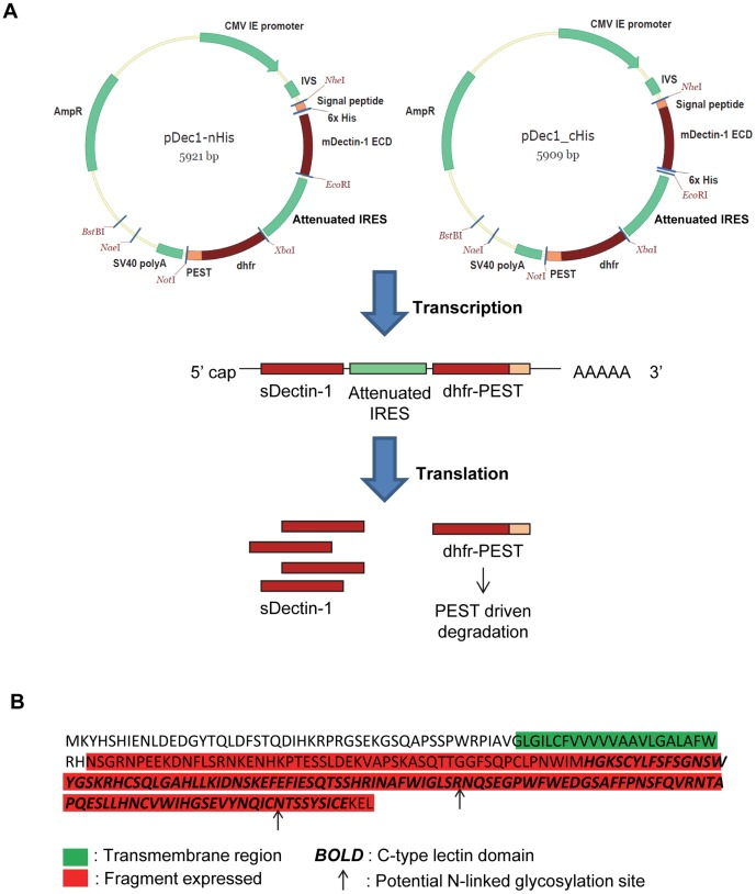Design of sDectin-1 expression vector. (A) Vector map of pDec1-nHis and pDec1-cHis, and illustration of its design to enhance sDectin-1 production. (B) Amino acid sequence of mDectin-1 from bone-marrow derived macrophage cells of C57BL/6 mice. The peptide fragment expressed in sDectin-1, the transmembrane region, the C-type lectin domain and the two potential N-linked glycosylation sites are indicated on the sequence based on alignment to protein sequence from Uniprot Accession Q6QLQ4.