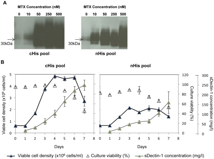 MTX amplification and characterization of sDectin-1 cell pools. (A) Western blotting of supernatant samples from cultures adapted to different MTX concentrations using an mDectin-1 goat polyclonal antibody (1∶1000; AF1756; R D Systems) with a HRP conjugated anti-goat antibody (1∶2000; Catalog number V8051; Promega). cHis pool and nHis pool are cell pools producing sDectin-1 with histidine tagged at the C- and N-terminals respectively. (B) Shake flask batch culture cell growth and sDectin-1 production profiles of sDectin-1 producing cell pools. Values shown represent mean values obtained from three replicate flasks. Error bars indicate the standard deviation of the experiment.