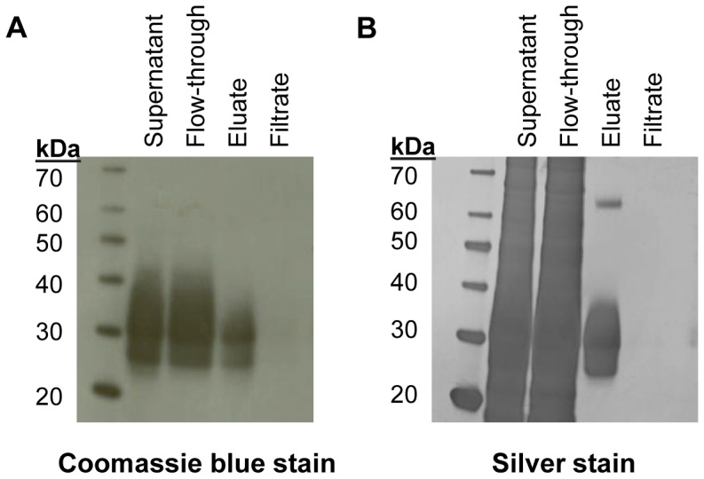 Purification of cHis-sDectin-1. cHis-sDectin-1 was purified using an IMAC nickel column and buffer exchanged using a 10 kDa molecular weight cut-off ultrafiltration spin filter. The unpurified supernatant, flow-through and eluate from the IMAC column, as well as the filtrate from the spin filter were separated by SDS-PAGE and stained using (A) Coomassie and (B) silver staining.