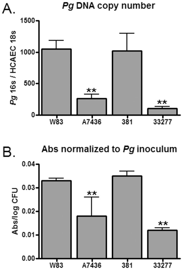 Adherence of P. gingivalis to HCAE cells detected by qPCR (A) and ELISA (B). Values represent the mean ± SD of six biological replicates from two independent experiments. Inoculated HCAE cells were incubated at 4°C for 30 min without agitation. (A) P. gingivalis 16S DNA copy number was normalized to HCAE cell 18S copy number. (B) Absorbance values at 450 nm for each replicate were normalized to their corresponding inoculums. **Values were significantly less than W83 and 381 ( P
