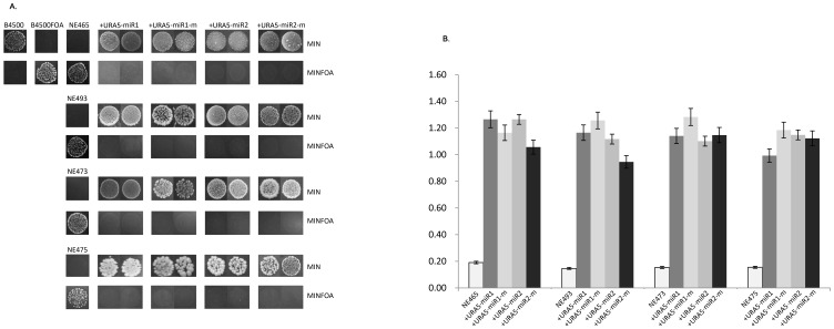 miR-mediated gene silencing requires RNAi machinery in C. neoformans . (A) URA5-miR1/2 restored the growth of B4500FOA ( ura5 ) on MIN agar in the RNAi-deficient mutant strains, NE465, NE493, NE473 and NE475, i.e. gene silencing of URA5-miRs that was observed in Fig. 4 did not occur in these mutants. And these transformants failed to grow on plates containing 5-FOA (the panels of MINFOA agar). MIN or MINFOA agar was supplemented with 100 µg/ml hygromycin B for the selection of all transformants of the reporters. The drug was left out for B4500 and B4500FOA. The transformants of miR1-m and miR2-m, together with the wild type B4500 and B4500FOA, served as control. (B) qRT-PCR confirmation of restored expression of URA5 in RNAi-deficient mutants, NE465, NE493, NE473 and NE475, which are originally ura5 defective strains.