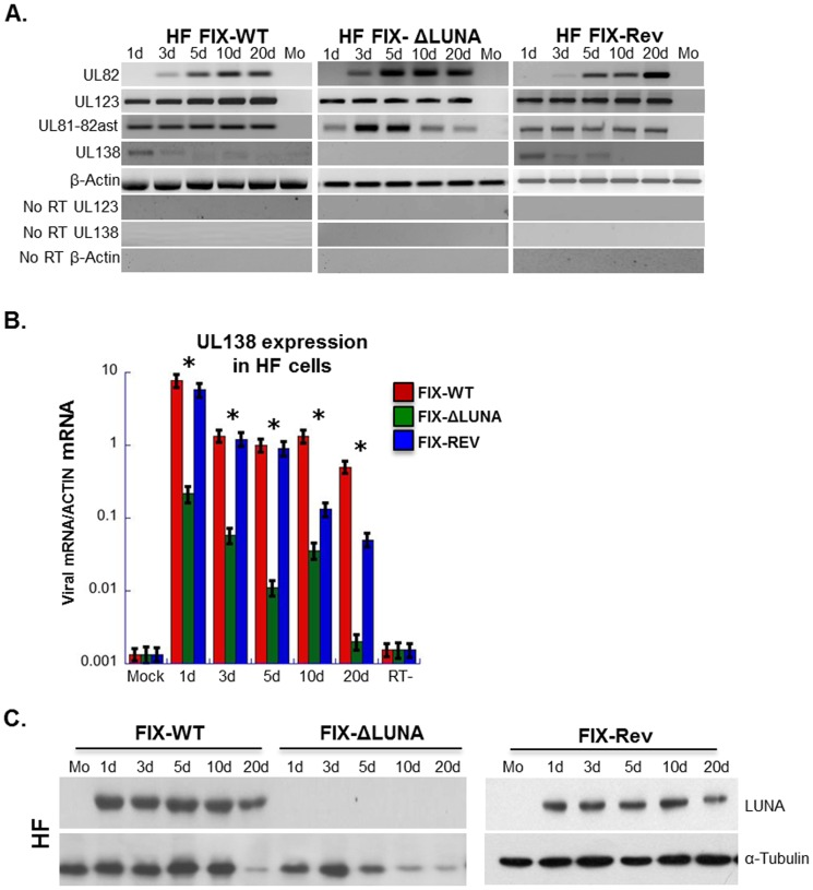 LUNA protein expression is not required for lytic gene expression, but does augment the expression of the UL138 transcript. HF cells infected at an MOI = 1 with either FIX-WT, FIX-ΔLUNA and FIX-Rev were harvested at the indicated time points for either RNA or protein analysis. A) Expression of viral RNAs. Total RNA was collected over a 20 d time course together with mock RNA. From all the collected RNA samples cDNA was synthesized and amplified using UL82, UL123, UL81-82ast, UL138 and β-actin specific primers. Negative images were used to visualize weaker bands. B) qRT-PCR analysis was used to assay gene expression of UL138 at the indicated times post infection. Viral mRNA was normalized to actin. Asterisks indicate significant changes (p value