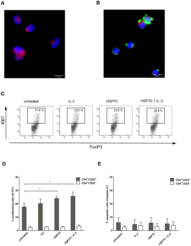 Uptake of HSP70 by CD4 + CD25 + Tregs and HSP70-dependent expression of Ki-67 and caspase-3. Representative fluorescence microscopy results for isolated Tregs incubated for 2 h ( A ) without or with ( B ) HSP70-FITC. Shown are the immunofluorescence microscopy results for DAPI (blue), FITC (green) and PE (red) staining. Purified CD4 + CD25 + and CD4 + CD25 − T cells were incubated with IL-2 (200 U/ml), HSP70 (10 µg/ml) or both for 2 h, washed and transferred to 96-well plates coated with anti-CD3 antibodies (OKT3, 1 µg/ml) in serum-free medium. After 20 h, Ki-67 and caspase-3 expression was determined by FACS analysis. ( C ) Results of one representative Ki-67-experiment out of six in CD4 + CD25 + T cells under different stimulation conditions. Results of six independent experiments using CD4 + CD25 + cells isolated from six different donors for ( D ) Ki-67 and ( E ) caspase-3, expressed as mean ± SD. p-values (* p