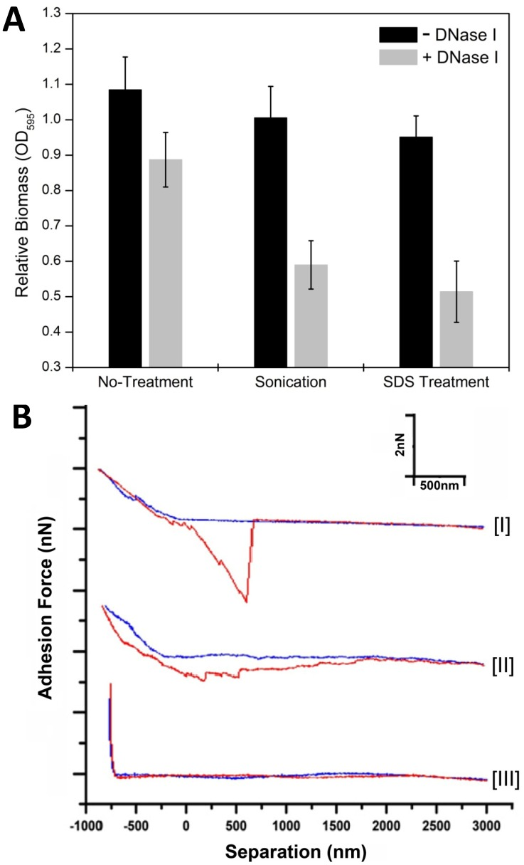 "Mechanical strength, anti-disruptive properties and nanomechanical adhesive characteristics recorded using force-separation curves of the M. xanthus starvation biofilm matrix with or without eDNA. In panel A, DK1622 biofilms without DNase I (black bar) and with DNase I (grey bar) were established over a 24 hr time period in MOPS buffer and biomass was measured as crystal violet optical density (No-treatment control). The changes of biomass in these two kinds of biofilms after sonication or SDS treatment, respectively, are also shown. In panel B, representative force curves measured by AFM on DK1622 24 hr starvation biofilm matrix (curve I), matrix treated with DNase I (curve II) and bare portion of the substrate after the tip was used (curve III). Force-separation curves were recorded as ""approach"" (blue) and ""retraction"" (red) curves."
