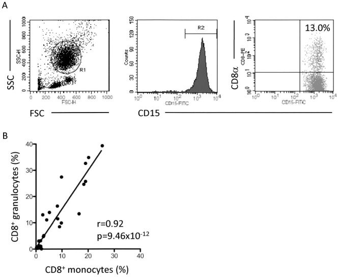 Detection of CD8 + granulocytes and correlation to CD8 + monocytes. ( A ) Detection of CD8 + granulocytes in human peripheral blood samples. Heparinized whole blood samples were made to react with the PE-labeled anti-CD8α Ab (HIT8a). After depletion of erythrocytes, the cells were re-suspended in PBS, and then allowed to react with the FITC-labeled anti-CD15 Ab (H198). PE-labeled mouse IgG1 and FITC-labeled mouse IgM were used as isotype-matched controls for HIT8a and H198, respectively. The cells gated in R1 were regarded as PMNs. Among the PMNs, granulocytes were characterized by the high level of expression of CD15 (gated in R2). The cells in both R1 and R2 gates were examined for the expression of CD8α. ( B ) Correlation of CD8 + granulocytes and CD8 + monocytes (n = 32, r = 0.92, p = 9.46×10 −12 in Pearson correlation test).