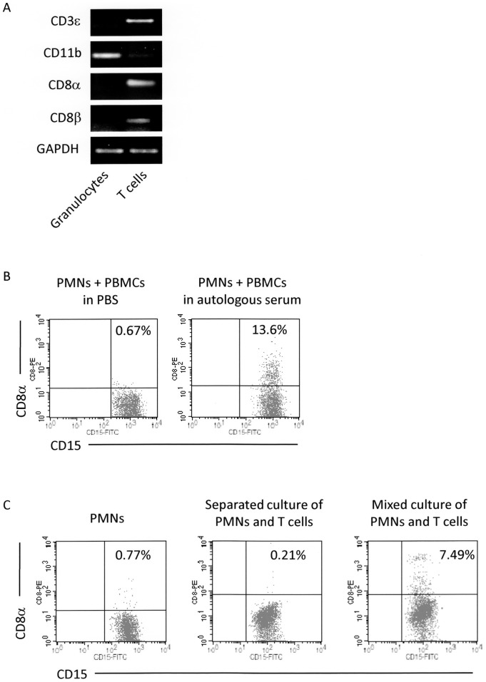 Requirement of serum and cell-to-cell interaction with T cells in detection of CD8 + granulocytes. ( A ) mRNA expressions of CD3ε, CD11b, CD8α, and CD8β in granulocytes (CD15 + PMNs) and T cells (CD3 + cells) determined by RT-PCR. These cells were separated from blood samples as described in Materials and Methods . The quality of RNA samples was verified by the expression of GAPDH. ( B ) Requirement of serum for detection of CD8 + granulocytes. PMNs and PBMCs separated from heparinized peripheral blood were mixed in PBS or autologous serum. These cells were incubated with the PE-labeled anti-CD8α Ab (HIT8a). After removal of unbound Abs, the cells were re-suspended in PBS followed by reaction with the FITC-labeled anti-CD15 Ab (H198), and then served for FCM. ( C ) Requirement of cell-to-cell contact with T cells for detection of CD8 + granulocytes. PMNs and T cells were separated from heparinized blood samples. PMNs were cultured with or without T cells in the autologous serum. In the co-culture wells, PMNs were cultured separately from T cells using the transwell chambers or mixed together with T cells. Subsequently, the cells were made to react with the PE-labeled anti-CD8α Ab (HIT8a). After removal of unbound Abs, the cells were re-suspended in PBS followed by reaction with the FITC-labeled anti-CD15 Ab (H198), and then served for FCM. These experiments were repeated 3 times. PE-labeled mouse IgG1 and FITC-labeled mouse IgM were used as isotype-matched controls for HIT8a and H198, respectively.