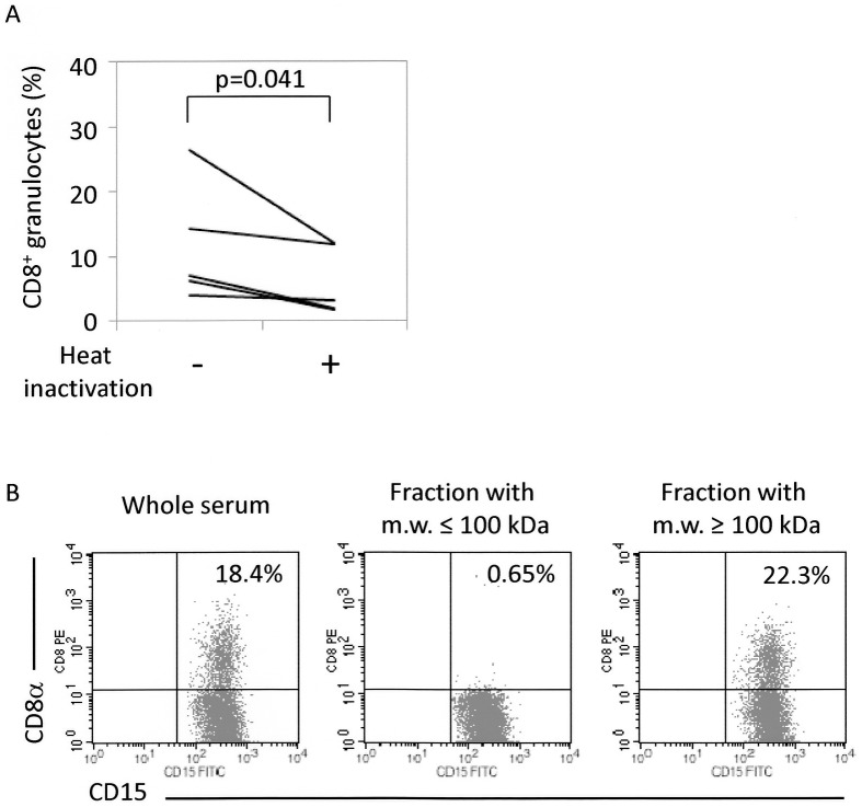 Characterization of serum factors that contribute to FcγR-mediated trogocytosis. ( A ) Heat instability of serum factors that contribute to FcγR-mediated trogocytosis (n = 5). PMNs and PBMCs were mixed in sera, which had been heated at 56°C for 30 min, or sera without heat inactivation. These cells were then made to react with the PE-labeled anti-CD8α Ab (HIT8a). After removal of unbound Abs, the cells were re-suspended in PBS followed by reaction with the FITC-labeled anti-CD15 Ab (H198), and then served for FCM. Student t -test for paired samples was applied for statistical analysis. ( B ) Molecular weight range of serum factors that contribute to FcγR-mediated trogocytosis. PMNs and PBMCs were mixed in sera, which had been fractionated into those with molecular weight of more than 100 kDa or less than 100 kDa. These cells were then made to react with the PE-labeled anti-CD8α Ab (HIT8a). After removal of unbound Abs, the cells were re-suspended in PBS followed by reaction with the FITC-labeled anti-CD15 Ab (H198), and then served for FCM. This experiment was repeated 3 times. PE-labeled mouse IgG1 and FITC-labeled mouse IgM were used as isotype-matched controls for HIT8a and H198, respectively.