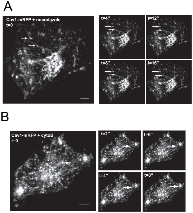 Actin and microtubule cytoskeletons act at distinct steps of Cav1 trafficking. ( A, B ) Hela cells expressing Cav1-mRFP maintained in suspension for 1 h, were replated on fibronectin for 3 h in the presence of 10 µM nocodazole (panel A) or 10 µg/ml cytochalasin-B (panel B) for 30 min. Cells were then analyzed by time-lapse confocal spinning disk microscopy. The right panels represent selected frames from the time-lapse series (time is given in second). Arrows point to Cav1-positive intracellular vesicles. See corresponding movie S2 (panel A) and movie 3 (panel B). Scale bars, 5 µm.