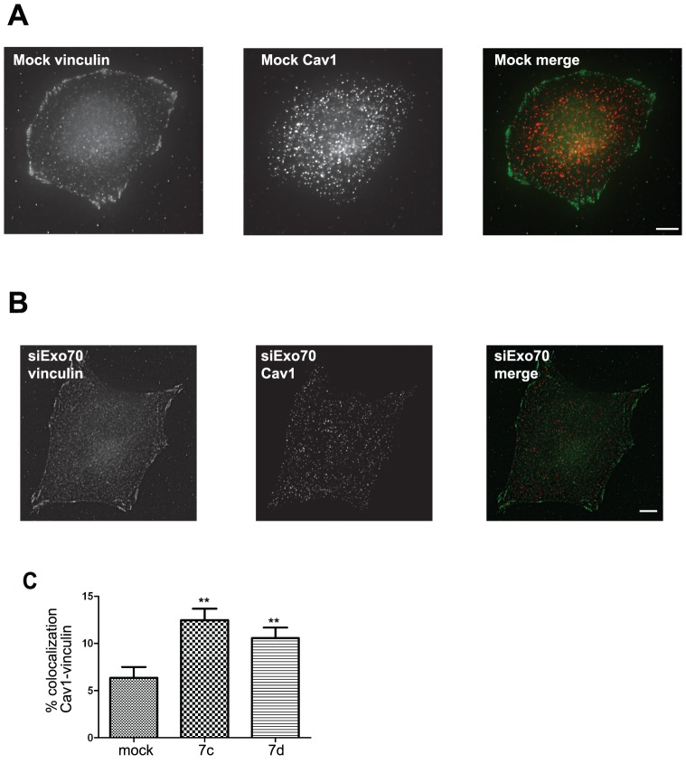 Silencing of Exo70 leads to Cav1 accumulation in focal adhesions. Mock-treated ( A ) or Exo70-depleted cells ( B ) were detached for 1 h and replated on <t>fibronectin-coated</t> substrate for 3 h, and then fixed and stained for endogenous vinculin and Cav1. Scale bars, 5 µm. Co-localization between Cav1 and vinculin was quantified in a 20-pixel width region from the cell periphery and compared in Exo70-depleted with two independent siRNAs vs . mock-treated cells ( C ). Results in panel C are the average of mean percentage of co-localization ± s.e.m. of three experiments. ** P