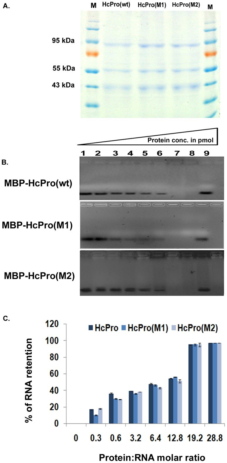 Small RNA binding ability of HcPro and its mutants. Electrophoretic mobility shift assay for wild-type (wt) HcPro and its mutants. A. Purified preparations of HcPro and mutant proteins on Coomassie-stained 12% SDS-PAGE purified from Escherichia coli BL21 cells. MBP-HcPro/mutants fusion protein (92.5 kDa) B. Electrophoretic mobility shift assay for HcPro and its mutants. Different concentrations (lane 2–8) of purified HcPro or its mutants were incubated with 30 pmol of synthetic double stranded small RNA (siRNA171) for 30 minutes at 25°C. Lane 1, 30 pmol of synthetic, double-stranded small RNAs (siRNA171) without any protein added; lane 9, 30 pmol of synthetic, double-stranded small RNAs (siRNA171) incubated with MBP for 30 minutes as control. C. Graphical representation of the RNA binding results for the wt HcPro and its mutants. % RNA retention (determined by band intensities) was plotted against protein:RNA molar ratios in the binding assays of HcPro and its mutants with double stranded siRNA171. The data are means ±SD of four repeat assays. The significance level of the data are shown by asterisks (* P
