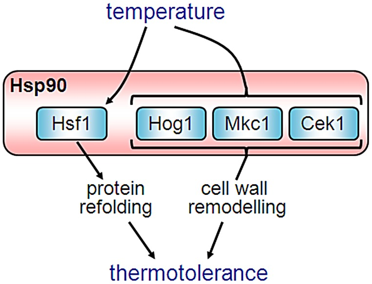 Hsp90 coordinates the activities of multiple signalling pathways that contribute to thermotolerance in C. albicans - a model. Hsf1 activation is required for thermotolerance [42] . Hog1, Mkc1 and Cek1 signalling are also required for thermotolerance ( Figure 3 ), but these MAP kinases are not essential for Hsf1 phosphorylation ( Figure 4 ). Instead, these pathways promote thermotolerance in part via cell wall remodelling [81] , [90] . Hsp90 coordinates much of this activity. Hsf1 ( Figures 1 and 2 ), Hog1, Mkc1 and Cek1 ( Figure 10 ) are all Hsp90 client proteins [62] , [86] . Changes in ambient temperature affect interactions between Hsp90 and Hsf1 ( Figure 2 ), and probably affect Hsp90 interactions with Hog1, Mkc1 and Cek1 [49] thereby modulating the activities of these signalling pathways and their inputs to thermal adaptation. Increases in ambient temperature activate Hsf1, thereby inducing the expression of protein chaperones (HSPs) including Hsp90, which promotes thermal adaptation in the shorter term. Hsp90 then down-regulates Hsf1 and modulates Mkc1, Hog1 and Cek1 signalling, which in the longer term influences cell wall architecture ( Figure 11 ), leading to the thermotolerance of C. albicans .