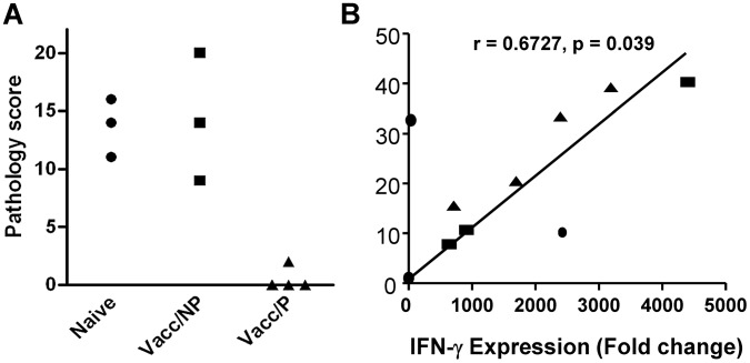 Protection and in vitro IFN-γ responses prior to challenge. A. Individual pathology scores are shown for the animals used in this study. Naïve animals = no vaccination, Vacc/NP = vaccinated calves that were not protected; Vacc/P = vaccinated calves that were protected. B. Correlation of IFN-γ protein production in culture supernatants measured by Bovigam ELISA (y-axis) and ifn-γ gene expression as determined by deep sequencing (x-axis). Data are shown from PPD-B stimulated PBMC from individual animals. Supernatants and RNA were prepared after 24 h culture.