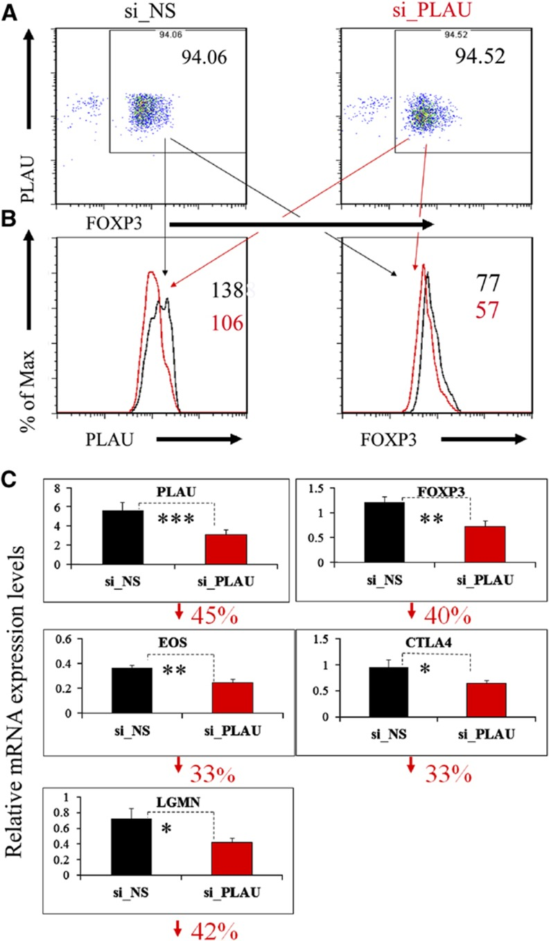 Knockdown of PLAU downregulates FOXP3 and other known important Treg genes. ( A ) Knockdown of PLAU by electroporation-mediated siRNA assessed by FACS. Before performing the knockdown experiments, we first restimulated the Tregs by co-culturing them with EBV-B cells for 3 days. To remove the B cells, we collected CD4 + cells by FACS before the knockdown experiments. The Tregs were rested for another 3 days after siRNA transfection and were then analyzed by FACS. ( B ) Left, the gated Tregs, PLAU expression assessed by FACS; right, the gated Tregs, expression of FOXP3 protein assessed by FACS. Enlarged numbers indicate the geometric mean of fluorescence intensity of the corresponding protein. 'Max', maximum. ( C ) Downregulation of mRNA levels of PLAU , FOXP3 , EOS , CTLA4 , and LGMN assessed by real-time qPCR analysis. The numbers on the y axis indicate fold change relative to RPS9 ( Bruder et al, 2004 ). The percentage under each subfigure represents the decreased percentage of the corresponding gene in Tregs transfected with specific siRNA against PLAU (si_PLAU) compared to Tregs transfected with non-silencing siRNA (si_NS). Error bars represent standard deviation (s.d.) values. The P -values indicate the results from a one-tailed Student's t -test for three repeated measurements. P ≤0.05 is indicated by * P ≤0.01, by ** P ≤0.001, and by *** for all the figures. The qPCR results displayed here were from experiments performed on day 3 post siRNA transfection for all the genes, except for LGMN on day 2 post siRNA. Data represent two to four independent experiments.