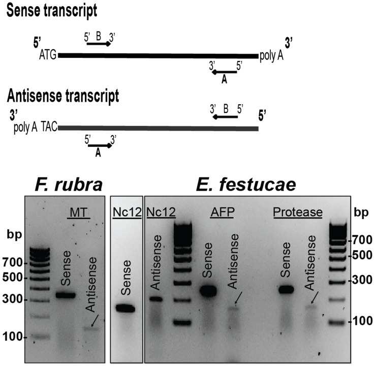 "Gel analysis of F. rubra and E. festucae antisense transcripts. The diagram illustrates primer design for detection of sense and antisense transcripts. The ""A"" primers were used for strand specific synthesis of cDNA from the RNA sample. The ""A"" and ""B"" primers were used for cDNA amplification. cDNAs generated from gene-specific primers for the F. rubra metallothionein (MT) and the E. festucae NC12, antifungal protein (AFP), and subtilisin-like protease were used as templates for PCR amplification."