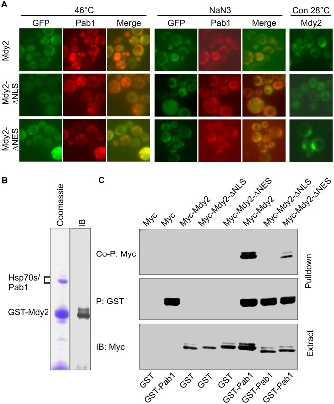 Mdy2 co-localize and interact with Pab1. (A) Mdy2 co-localize with Pab1 following heat stress and treatment with sodium azide. GFP-Mdy2 and Pab1-RFP was visualized by fluorescence microscopy in a mdy2 Δ strain transformed with plasmids containing GFP-Mdy2 (upper row), GFP-Mdy2-ΔNLS (middle row) or GFP-Mdy2-ΔNES (lower panel), and Pab1-RFP, after a temperature shift to 46°C (left panel) and after treatment with sodium azide (NaN 3 ) (right panel). In the overlay pictures (merge), overlap of the colors appears yellow. GFP-Mdy2 and GFP-Mdy2-ΔNES but not GFP-Mdy2-ΔNLS are predominantly nuclear in control (Con) conditions at 28°C (right panel). (B) Mdy2 interacts with Pab1. Cell lysates from the GST-tagged Mdy2 strains were precipitated (P) with Glutathione Sepharose 4B. Following washing, the resin was eluted with glutathione. Eluted proteins were resolved by SDS-PAGE and visualized by immunobloting (control, IB) and Coomassie blue staining (Coomassie). Protein identities were established by mass spectrometry analysis. (C) Extracts from yeast strains HZH686 (W303-1A mdy2 Δ ) coexpressing GST alone (GST) or GST-tagged Pab1 (GST-Pab1) with Myc alone (Myc), Myc-tagged Mdy2 (Myc-Mdy2), Myc-tagged Mdy2-ΔNLS (Myc-Mdy2-ΔNLS) or Myc-tagged Mdy2-ΔNES (Myc-Mdy2-ΔNES) were subjected to pulldown using Glutathione Sepharose 4B as in Figure 4 . The coprecipitation of indicated Myc-tagged Mdy2 proteins in the pulldown was confirmed by probing a Western blot with anti-Myc Ab (top panel, Co-P: Myc). To monitor pulldown recovery, the level of GST-Pab1 in the pulldown was measured by probing the same membrane with anti-GST Ab (second panel from the top, P: GST). Expression levels of indicated Myc-tagged Mdy2 proteins and GST-Pab1 in whole cell extracts (Extract) used for pulldown were measured on Western blots (third and fourth panels from top, IB:Myc and IB:GST, respectively).