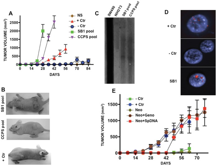 """Tumorigenesis and DNA transfer in recipient murine NIH3T3 cells after passive transfection. A. Tumor growth in nude mice from """"passively"""" transformed cells. Faster and higher tumor growth was observed in SB1 pool and CCPS pool (NIH3T3 exposed to supernatant of SW480 cells and to the serum of a patient with colon cancer, respectively). SW480 cells were used as positive control, whereas NIH3T3 and NIH3T3 exposed to normal serum showed essentially no growth . B. Representative pictures of tumors in mice from each group. C. Southern blot hybridization of SB1 and CCPS pools of cells against genomic DNA of SW480 cells. Lane SW480 cells are the positive control and NIH3T3, the negative one. A clear hybridization signal is only observed in SB1 and CCPS lanes. D. FISH analysis of repetitive human sequences. Positive control is human lymphocytes and murine cells negative control. SB1 cells shows strong signal. E. Tumor growth is similar in NIH3T3 actively transfected with genomic DNA from SW480 cells (Neo-Geno) and actively transfected DNA extracted from supernatant of SW480 cells as compared with no growth in NIH3T3 (-Crt) and transfected with the empty-vector only. Positive control, SW480 cells."""