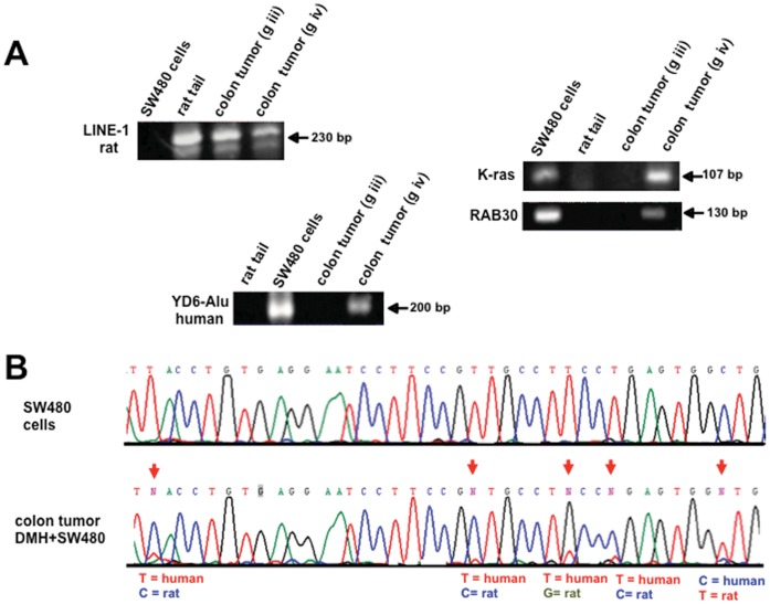 Human DNA transfer in rat colon tumors by PCR-sequencing. Representative pictures of PCR detection of a repetitive sequence of rat ( LINE 1 ) in a rat tumor (DMH and DMH+SW480). ( A ) Alu Yd6 human sequences were only amplified from the colon tumors of DMH+SW480-treated rats. Rat tail and human cells were used as positive and negative controls. Human K-ras and RAB30 genes were only detected in the tumors of rats receiving DMH and SW480 cells. ( B ) Sequence analysis of the PCR product of RAB30 in a colon tumor treated with DMH+SW480 cells. Arrows indicate the position where the nucleotide sequence is different between species and clearly shows the existence of both sequences. Human SW480 cells (control).