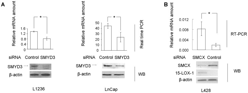 SMYD3 and SMCX regulate 15-LOX-1 expression in cultured HL-derived cells cells and prostate cancer cells. (A) Real-time PCR assay of 15-LOX-1 mRNA expression in L1236 and LNCaP cells treated with SMYD3 siRNAs or control siRNA (n=4). The results were normalized to the mRNA level of beta-2 microglobulin. The efficiency of SMYD3 siRNA knocking down was evaluated using Western blots. Bar, SD; * p
