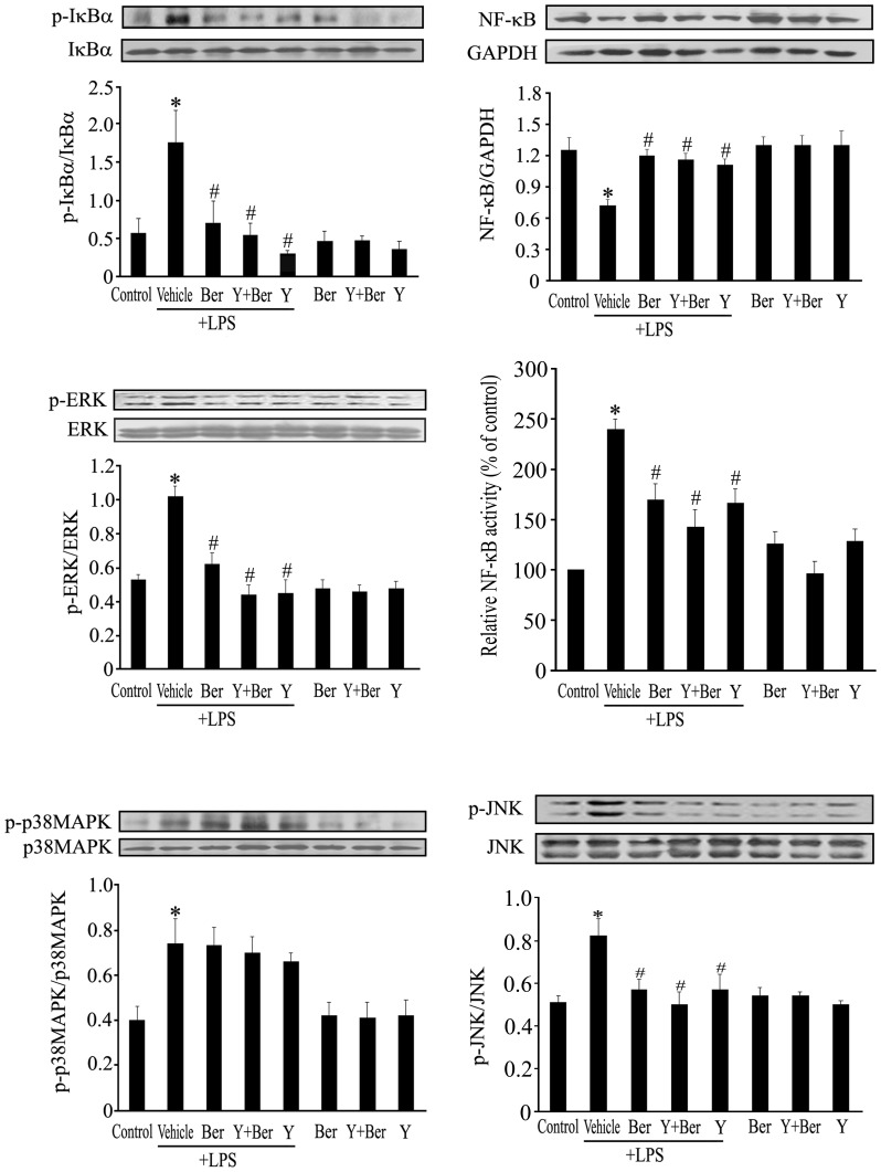 Effects of Ber or/and Y on IκBα, ERK, JNK and p38 MAPK phosphorylation as well as NF-κB activation in spleen of LPS-challenged mice. Spleen was removed 1 h after LPS or normal saline injection, extraction of total protein was analyzed for the presence of total and phosphorylated forms of IκBα, ERK, JNK and p38 MAPK using Western blot, cytoplasmic extracts were subjected to Western blot analysis for determining NF-κB p65 level, nuclear extracts were used to measure the NF-κB activity using NF-κB p65 transcription factor assay kit, and NF-κB activity was normalized to control. n = 5−6 . * P