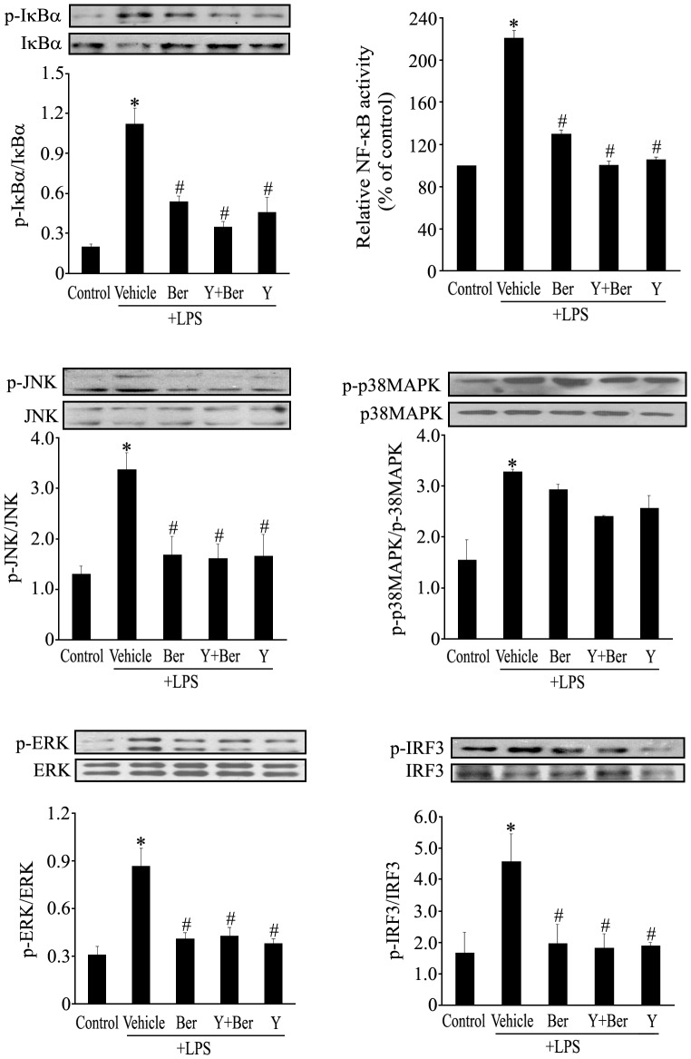 Ber and Y suppress IκBα, ERK, JNK and IRF3 phosphorylation as well as NF-κB activation, but not p38 MAPK phosphorylation in LPS-treated macrophages. Mouse peritoneal macrophages were incubated with vehicle, Ber (2.0 µM), Ber (2.0 µM)+Y (5.0 µM) or Y (5.0 µM) for 2 h and then treated with LPS (100 ng/ml) for another 1 h. Whole cell lysates were examined for the presence of total and phosphorylated form of IκBα, ERK, JNK, p38 MAPK and IRF3 using Western blotting. Data in graph are presented as the mean of the ratio of phosphorylated protein to total protein. Nuclear extracts were also used to measure the NF-κB activity using NF-κB p65 transcription factor assay kit, and NF-κB activity was normalized to control macrophages. n = 3−4. *P