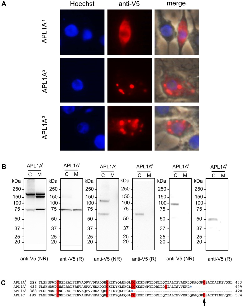 Differential secretion pattern and sub-cellular localization of APL1A-V5 alleles in hemocyte-like cell culture. A) Immunofluorescence analysis of 4a-3A hemocyte-like cells transfected with plasmids encoding V5-tagged APL1A 1 , APL1A 2 and APL1A 3 . Cells were stained with Hoechst 33342 to label nuclei (blue). Staining with a mouse anti-V5 <t>mAb</t> followed by anti-mouse Alexa 488-conjugated <t>IgG</t> (red) indicates that APL1A 1 exhibits a diffuse pattern in the cytoplasm whereas APL1A 2 and APL1A 3 are essentially localized in vesicles. Pictures were taken under equivalent exposure conditions. B) Immunoblot analysis of cells (C) and culture medium (M) of the 4a-3A hemocyte-like cell line transfected with plasmids encoding V5-tagged APL1A 1 , APL1A 2 and APL1A 3 under reducing (R) and non-reducing (NR) conditions. Immunoblots were probed with a mouse anti-V5 mAb, protein quantities on the different blots are not comparable. APL1A 1 is secreted in the culture medium as at least two protein complexes under non-reducing conditions, whereas APL1A 2 and APL1A 3 are retained in the cell cytoplasm and form only one protein complex under non-reducing conditions. Estimated sizes of monomeric APL1A forms including V5-tag are: 76 kDa (APL1A 1 ), 60 kDa (APL1A 2 ) and 51 kDa (APL1A 3 ). C) Amino acid alignment of cysteine-rich regions of the three Ngousso APL1A proteins and A. gambiae PEST APL1C. Numbers correspond to the amino acid positions. Blue stars represent stop codons, cysteine residues are highlighted in red. The cysteine residue corresponding to the position 562 in the APL1C sequence (APL1C C562 , black arrow) described by Povelones et al. [18] , is involved in the disulfide-linked complex formed between LRIM1 and APL1C and is only conserved in APL1A 1 . The same cysteine is also referred to as APL1C C551 in the APL1C protein published by Baxter et al. [34] .