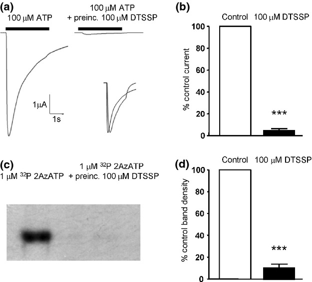Effect of 3,3′-Dithio bis (sulfosuccinimidylpropionate) (DTSSP) modification on Human P2X1 receptor function. (a) Application of 100 μM ATP to Xenopus oocytes expressing P2X1 wildtype receptors evoked a large inward current recorded by two electrode voltage clamp. Pre-incubation with 100 μM DTSSP for 30 min almost abolished responses. Inset traces are representative of normalized responses to 100 μM ATP in the presence or absence of 100 μM DTSSP indicating no significant change in the current time course. (b) Pooled electrophysiology data depicting the decrease in channel function post-DTSSP treatment. (c) P2X1 receptor ATP-binding site analysis utilizing uv cross-linked 32 P 2Azido ATP (2AzATP) shows a marked reduction in radioactivity of the P2X1 receptor protein band following pre-treatment with 100 μM DTSSP. (d) Pooled densitometry data collected from autoradiography of the DTSSP treated and non-treated 2AzATP radioactive P2X1 receptor bands ( n = 4) *** p