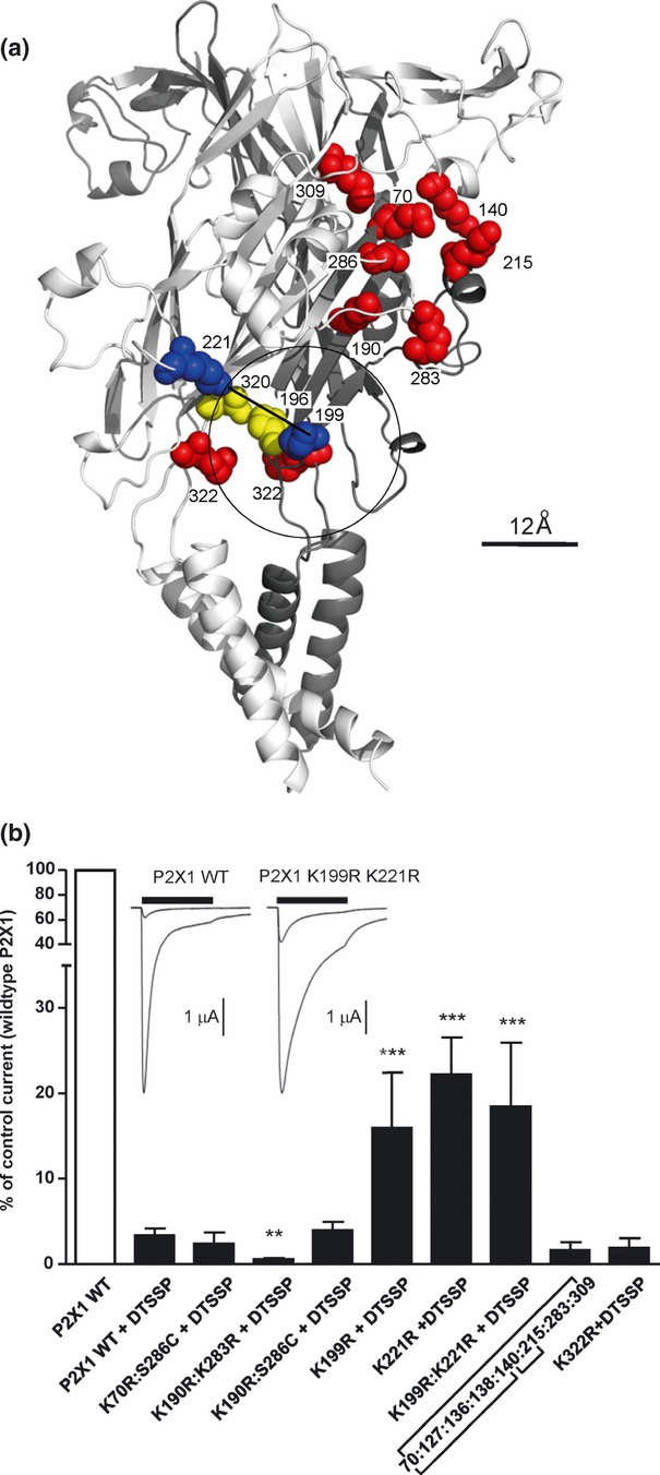 Site directed mutagenesis of human P2X1 receptor to discover the molecular basis for 3,3′-Dithio bis (sulfosuccinimidylpropionate) (DTSSP) inhibition. (a) Cartoon representation of P2X1 receptor structure highlighting the residues K199 and K221 (blue spheres) positioned on different subunits approximately 12 angstroms apart. The diameter of the circle shown is approximately 24 angstroms. Residues in yellow correspond to positions 196 and 320 in adjacent subunits where introduced cysteine residues form a disulphide bond and inhibit channel activation. Red spheres correspond to lysine residues that when mutated had no effect on DTSSP inhibition of ATP evoked responses. (b) Combining mass spectrometry and crystal structure to map possible cross-linked pairs, multiple mutations were designed to discover the residues responsible for DTSSP inhibition and cross-linking. Residues 70 : 140; 70 : 309; 70 : 286; 140 : 215; 190 : 283; 190 : 286; 199 : 221 and 322 : 322 are all within 12 angstroms and on separate P2X1 subunits and therefore possible candidates for causing functional inhibition and dimer/trimer formation with DTSSP. Only double mutant K199R:K221R showed a significant reduction of DTSSP inhibition also reflected in the single mutants K199R and K221R ( n = 3–25). No mutations were observed to disrupt the DTSSP formation of dimers/trimers on western blot (data not shown). Inset example trace data for human P2X1 wildtype and P2X1 double mutant K199R: K221R in the presence and absence of 100 μM DTSSP ** p