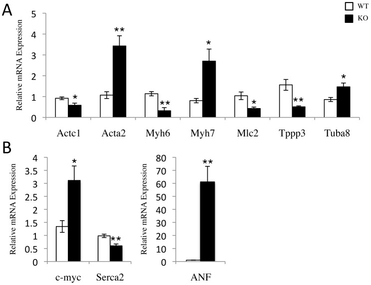 Shifts in sarcomeric and stress response gene expression profiles of SRC-2 KO. A–B , qPCR analysis of the indicated actin, myosin, and tubulin isoforms ( A ), and cardiac stress response ( B ) genes. RNA was isolated from WT and SRC-2 KO hearts (n = 5). Individual gene expression is analyzed by ΔΔCt method with 18S RNA expression used as a normalizer and expression relative to WT. * = p≤0.05 and ** = p≤0.01. (Actc1- cardiac actin, Acta2- smooth muscle actin # , Myh-myosin heavy chain 6 and 7, Mlc- myosin light chain (Myl2v), Tppp3- tubulin polymerization promoting protein family member 3 # , Tuba8- tubulin, alpha 8 # , c-myc- myelocytometosis oncogene, ANF- atrial natiuretic factor, Serca 2- cardiac muscle Ca+2 transporting ATPase). A # indicates a gene identified in the microarray.