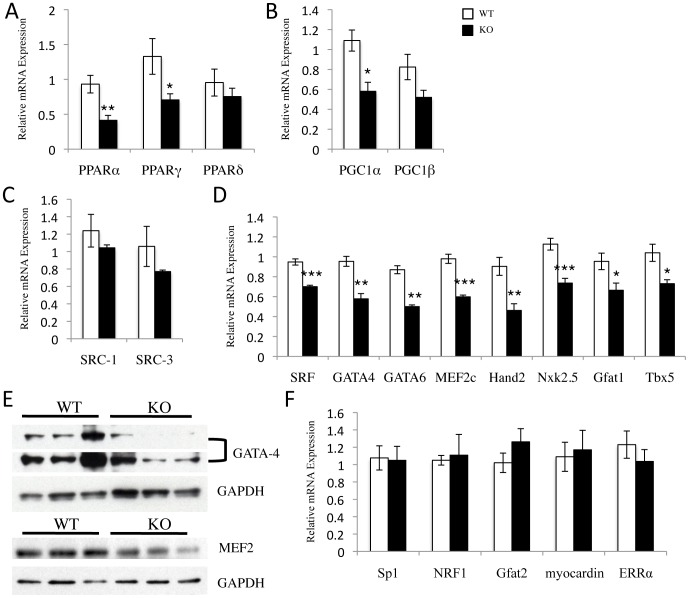 Loss of SRC-2 results in decreased expression of several cardiac transcription factors important for controlling metabolic and sarcomeric gene expression. A–D and F , qPCR analysis of the indicated transcription factor and transcription co-activator genes. RNA was isolated from WT and SRC-2 KO hearts (n = 5). Individual gene expression is analyzed by ΔΔCt method with 18S RNA expression used as a normalizer and expression relative to WT. E , Immunoblot for GATA-4 and MEF2 protein expression in WT and SRC-2 KO heart tissue lysates (n = 3).* = p≤0.05, ** = p≤0.01, and *** = p≤0.001. (PPAR- peroxisome proliferator activated-receptor α, β/δ, and γ, PGC-1- peroxisome proliferator activated-receptor γ coactivator-1 α and β, SRC- steroid receptor coactivator 1 and 3, SRF- serum response factor, GATA- GATA binding protein 4 and 6, MEF2c- myocyte enhancer factor 2c, Hand 2- heart and neural crest derivatives 2, Nkx2.5- NK2 transcription factor related 5, Gfat- glutamine frustose-6-phosphate transaminase 1 and 2, Tbx5- T-box 5 # , NRF1- nuclear respiratory factor 1, ERR- estrogen-related receptor α). A # indicates a gene identified in the microarray.