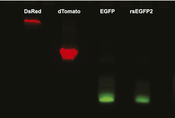 Semi-native polyacrylamide gel electrophoresis of rsEGFP2. Purified monomeric EGFP, dimeric dTomato, tetrameric DsRed, and rsEGFP2 were separated on a semi-native gel (a two-phase polyacrylamide gel) consisting out of a 12.5% separation gel (6.3 ml H 2 O, 5 ml 1.5 M Tris–HCl pH 8.8, 8.3 ml Rotiphorese Gel 30 solution [Roth, Karlsruhe, Germany], 200 μl 10% [wt/vol] sodiumdodecyl sulphate [SDS], 200 μl 10% [wt/vol] ammonium persulfate (APS), 20 μl Tetramethylethylendiamin [TEMED]) and a 5% loading gel (5.6 ml H 2 O, 2.5ml 1.5 M Tris–HCl pH 6.8, 1.7 ml Rotiphorese Gel 30 solution, 100 μl 10% [wt/vol] SDS, 100 μl 10% [wt/vol] APS, 10 μl TEMED). Images were taken with a custom-built gel documentation system. To detect green fluorescence (EGFP and rsEGFP2) the gel was irradiated with light of 470 ± 5 nm and fluorescence was detected at 525 ± 30 nm. To detect red fluorescence (dTomato and DsRed) the gel was irradiated with light of 545 ± 10 nm and fluorescence was recorded at 617 ± 37. Both images were overlaid and are represented in false colors. DOI: http://dx.doi.org/10.7554/eLife.00248.009