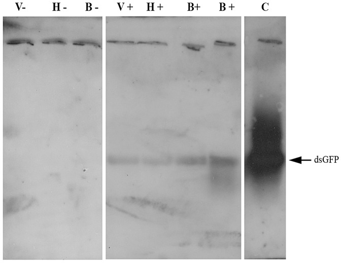 Demonstration of <t>dsRNA</t> transmission from adult bee to Varroa via the bee hemolymph. Northern blot assay was performed on <t>RNA</t> extracted from a bee that had ingested dsRNA-GFP (B+) and from an untreated bee (B−), pooled RNA extracted from hemolymph collected from bees that had ingested dsRNA-GFP (H+) and from untreated bees (H−), and pooled RNA extracted from Varroa mites parasitizing dsRNA-GFP-treated bees (V+) and untreated bees (V−). C = positive control (GFP-carrying plasmid).