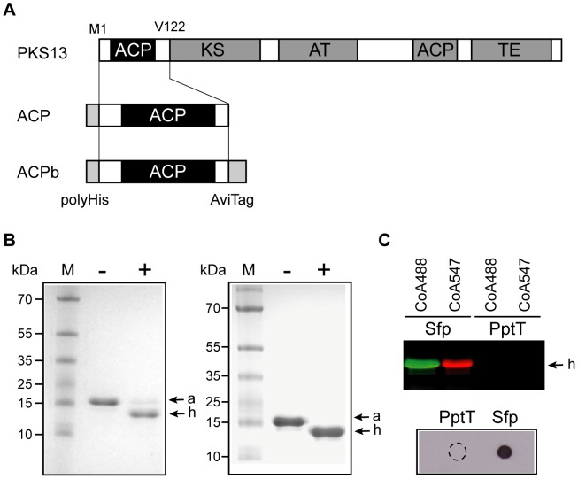 In vitro activity of PptT. A. Diagrammatic representation of the domain organization of PKS13 and of ACP and ACPb domains. ACP: Acyl Carrier protein, KS: ketosynthase, AT: acyltransferase, TE: thioesterase. B. ACP activation with CoA and acetyl-CoA. The apo -ACP module was incubated with (+) or without (−) PptT in the presence of either CoA (left panel) or acetyl-CoA (right panel). apo - (a) and holo -ACP (h) forms were separated on urea polyacrylamide gels and stained with Coomassie blue (see materials and methods ). M: PageRuler prestained protein ladder plus (Fermentas). C. ACP activation with CoA analogs. PptT or Sfp were incubated with the apo -ACP domain in the presence of either fluorescent CoA analogs (CoA488 or CoA547) or CoA-biotin. Fluorescent holo -ACP forms (h) were resolved by SDS-PAGE and visualized by fluorescence scanning using a Typhoon scanner (GE Healthcare) (upper panel). Biotin-labeled ACP was detected by spotting 5 µl of the reaction mix onto the nitrocellulose membrane and incubation with streptavidin peroxidase followed by enhanced chemiluminescence detection (lower panel). The dashed-line circle shows the drop zone for the PptT reaction.