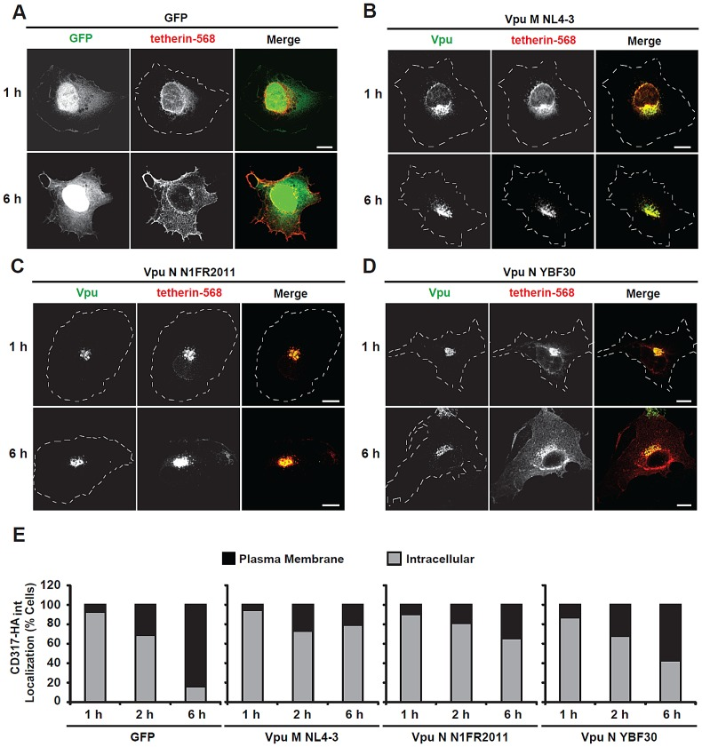 """The N1FR2011N-Vpu blocks anterograde transport of tetherin. ( A–D ) The nuclei of HT1080 cells, grown on coverslips, were co-microinjected with an expression plasmid encoding human tetherin with an internal HA tag together with vectors encoding either GFP ( A ) or C-terminally AU1 tagged Vpus: NL4-3 ( B ), N1FR2011 ( C ) and YBF30 ( D ). ∼200 cells were microinjected per plasmid combination. Subsequently, cells were cultivated for 1, 2 or 6 hours and then fixed, permeabilized and stained with an anti-HA mAb followed by an Alexa 568-conjugated secondary a (red staining) to detect newly synthesized tetherin together with an anti-AU1 rab followed by Alexa 488-conjugated secondary antibody (green staining) to detect newly synthesized Vpu proteins. Microphotographs shown are representative for three independent experiments. Cell circumferences are indicated. Scale bars: 10 µm. ( E ) Stainings were categorized into cells, which, besides intracellular staining, also displayed a clear plasma membrane staining (""""plasma membrane"""") or cells with an exclusively intracellular staining (""""intracellular""""). Histogram bars depict the relative percentage of cells for each time point from at least 150 cells that were analyzed out of three independent microinjection experiments."""
