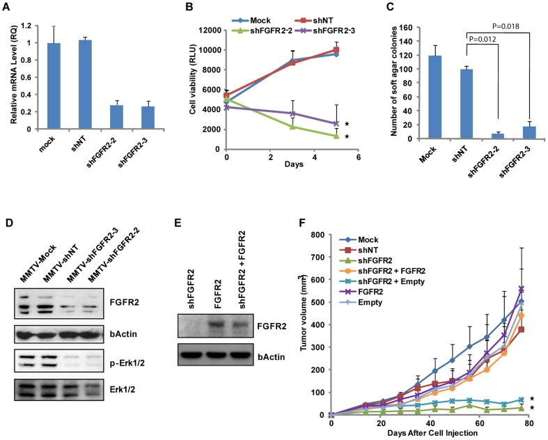 Suppression of Breast Tumor Growth and Inhibition of Oncogenic Signaling by Loss of FGFR2. (A) Quantitative real-time PCR analysis of expression levels of FGFR2 mRNA in MMTV-PyMT breast tumor cells stably transduced with lentiviral shRNAs targeting FGFR2 (shFGFR2) and non-targeting shRNA (shNT). shFGFR2-2 and shFGFR2-3, targeting different regions of FGFR2 gene, were used for knockdown of FGFR2. Mock (no infection) and shNT infection were used as negative controls. (B) Reduced proliferation of breast tumor cells upon FGFR2 knockdown in vitro . Proliferation of tumor cells was determined by cell viability using CellTiter-Glo reagent (Promega). Statistical comparison with shNT (* P