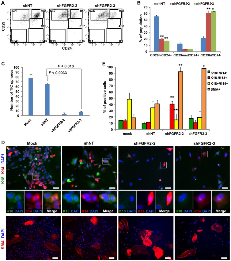 Loss of <t>FGFR2</t> Impaired Self-Renewal of Breast TICs, Resulting in a Decreased TIC Pool. (A) Flow cytometry analysis of CD24 and CD29 expression for TIC and non-TIC subpopulation frequencies in shRNA-transduced primary MMTV-PyMT breast tumor cells. (B) Quantification of TIC and non-TIC subpopulation frequencies in shRNA transduced breast tumor cells determined by FACS analysis (A). Data (n = 2) represent mean ± s.d. Statistical comparison with shNT (* P